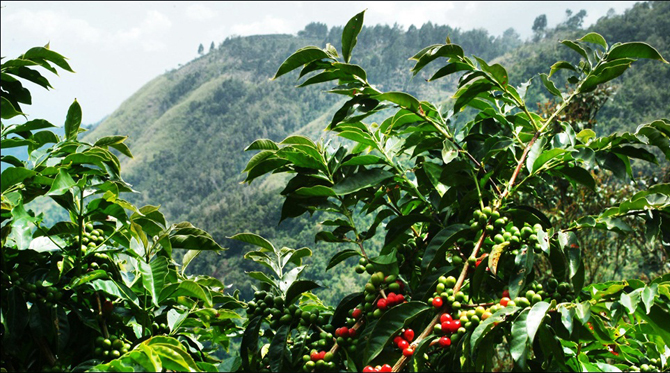 kintamani bali coffee plantations