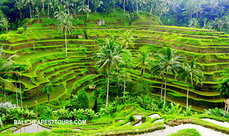 Tegallalang Rice Terraces in Ubud